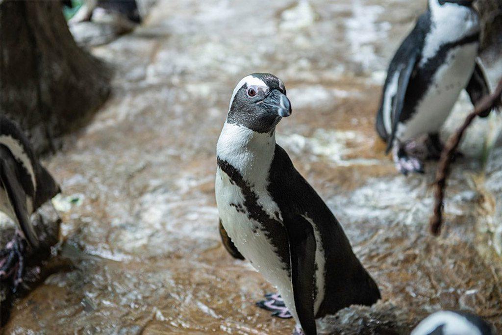 Ripley's Aquarium of the Smokies Penguin Playhouse